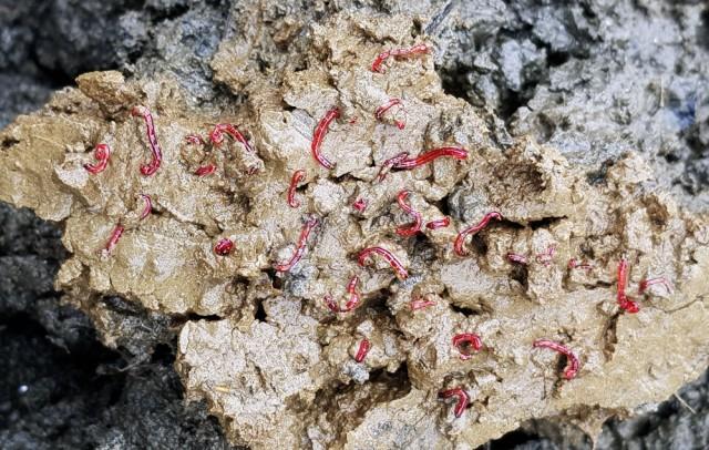 물 빠진 세종보 상류 펄밭을 손으로 파헤치자 최악의 수질오염 지표종인 붉은깔따구가 무더기로 발견되었다.ⓒ김종술 기자