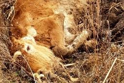 [김종술의금강이야기] 수달이 죽고 소가 버려지는 4대강
