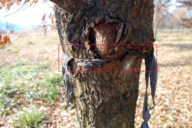 4대강 사업 당시 백제보 우안에 조경수로 옮겨온 상수리나무의 지지대의 철사를 풀어주지 않아 안으로 파고 들어가고 있다.ⓒ 김종술