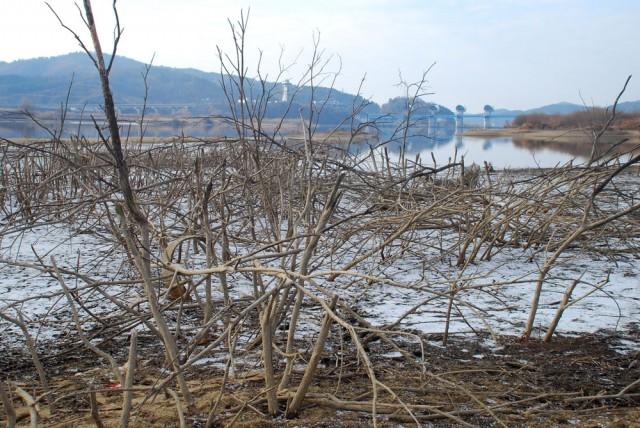 백제보가 바라다보이는 상류 버드나무 군락지는 나무들이 앙상하게 말라 죽었다.ⓒ 김종술