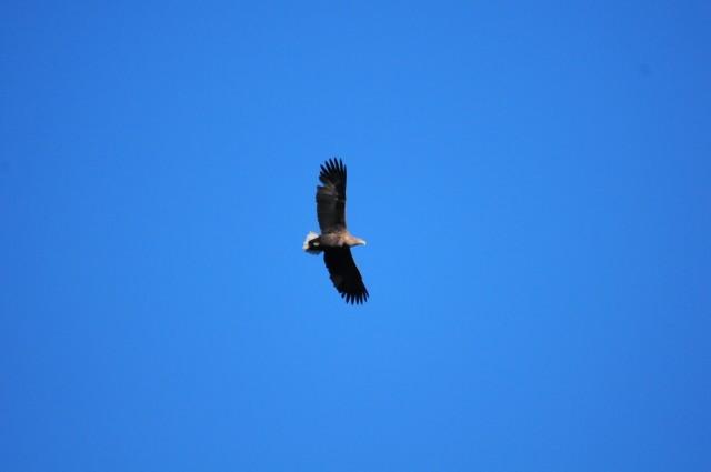 흰꼬리수리가 금강 상공을 비행중이다.ⓒ이경호