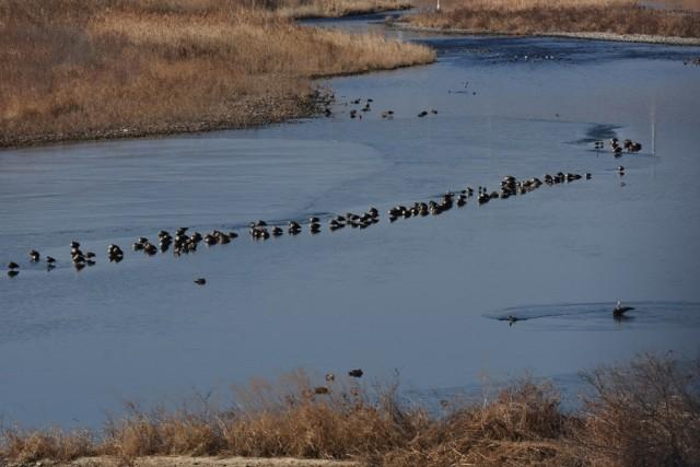 오리도 떼로 찾아왔다 ⓒ 대구환경운동연합 정수근