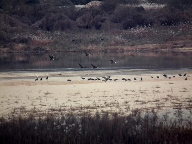 멸종위기종이자 천연기념물인 흑두루미가 낙동강 해평습지를 다시 찾아올 수 있도록 칠곡보의 수문을 열자ⓒ 정수근