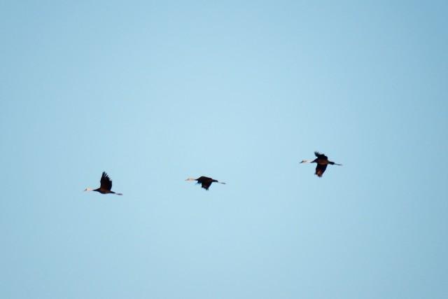 흑두루미의 비행. 멀리 시베리아 등지에서 겨울을 나기 위해서 남하해 우리나라를 거쳐 일본 이즈미시까지 날아간다. ⓒ 대구환경연합 정수근