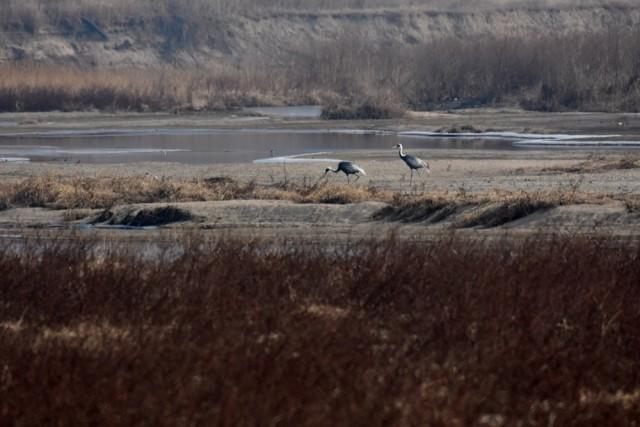 2017년 12월 23일 현재 낙동강 감천 합수부에는 재두루미 두 마리만 도래해 있다. 흑두루미는 한 마리도 없다. 올해 도래한 흑두루미 수는 87마리 너무 초라한 숫자다. ⓒ 대구환경연합 정수근