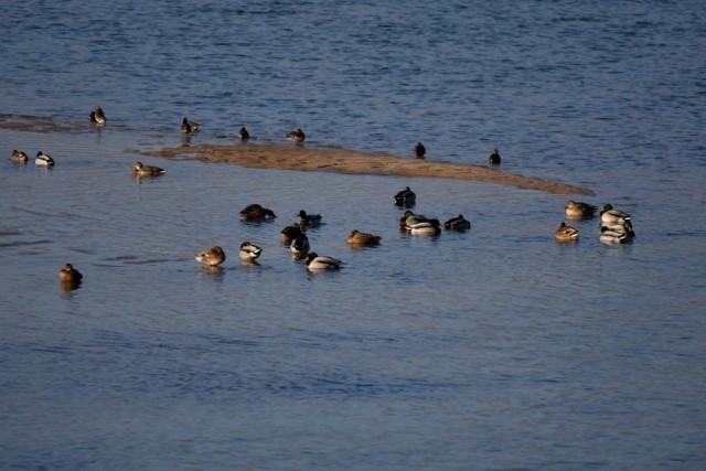 황강의 모래톱 위에 청둥오리들이 앉아 쉬고 있다. 그 위를 새해 첫 태양이 비추고 있다. ⓒ 대구환경연합 정수근