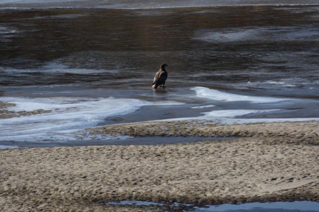 되돌아온 모래톱 위를 흰꼬리수리 한 마리가 당당한 위용을 뽑내며 앉아 있다. ⓒ 대구환경운동연합 정수근