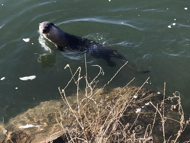 천연기념물 수달이 낙동강에 나타났다. 몇 번을 물 속에서 고개를 내밀고 나를 빤히 살핀다. ⓒ 대구환경연합 정수근