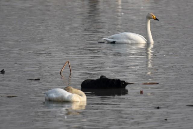 낙동강을 찾은 흑고니가 백조 무리들 속에서 쉬고 있다ⓒ대구환경연합 정수근