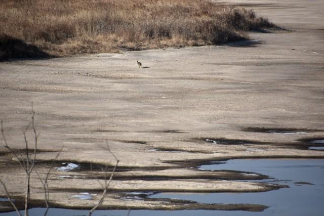 물이 빠지자 얕아진 회천의 드넓은 모래톱 위를 고라니 한 마리가 쉽게 건너가더니 쏜살같이 내달린다. ⓒ 대구환경운동연합 정수근