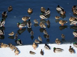 [김종술의금강이야기] 통째로 얼어붙은 금강, 철새는 얼음판위에서 오들오들