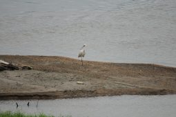[현장소식]수문을 열었더니 멸종위기종 노랑부리저어새가 찾아왔다.