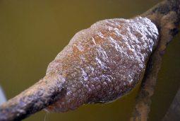 [김종술의금강이야기]금강 백제보에 다시 큰빗이끼벌레가