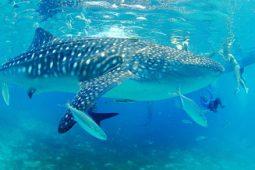 [기고] 바다생물 중에서 가장 큰 물고기, 고래상어