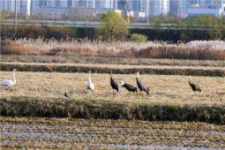 [현장소식] 도시 발전할수록 철새들에겐 더 가혹한 겨울