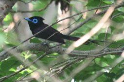 [현장기고] 멸종위기종 긴꼬리딱새가 사는 노자산 숲을 골프장으로?