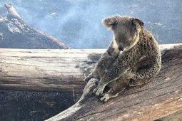 악화되는 호주 산불, 기후변화가 만든 재난… 코알라 멸종위기에 놓여 (호주 산불 기부)