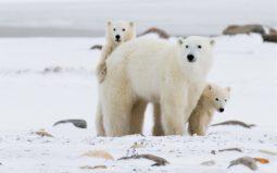 [2월 27일, 세계 북극곰의 날] 북극곰 멸종위기와 미국 텍사스 한파, 같은 이유라고요?